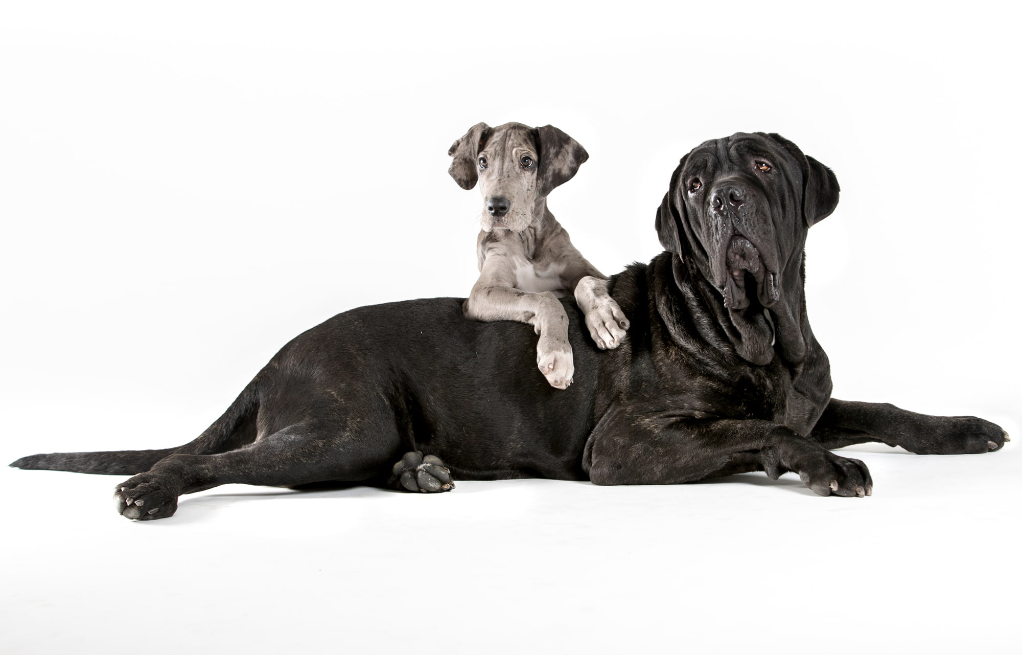 black dog and grey puppy on white background