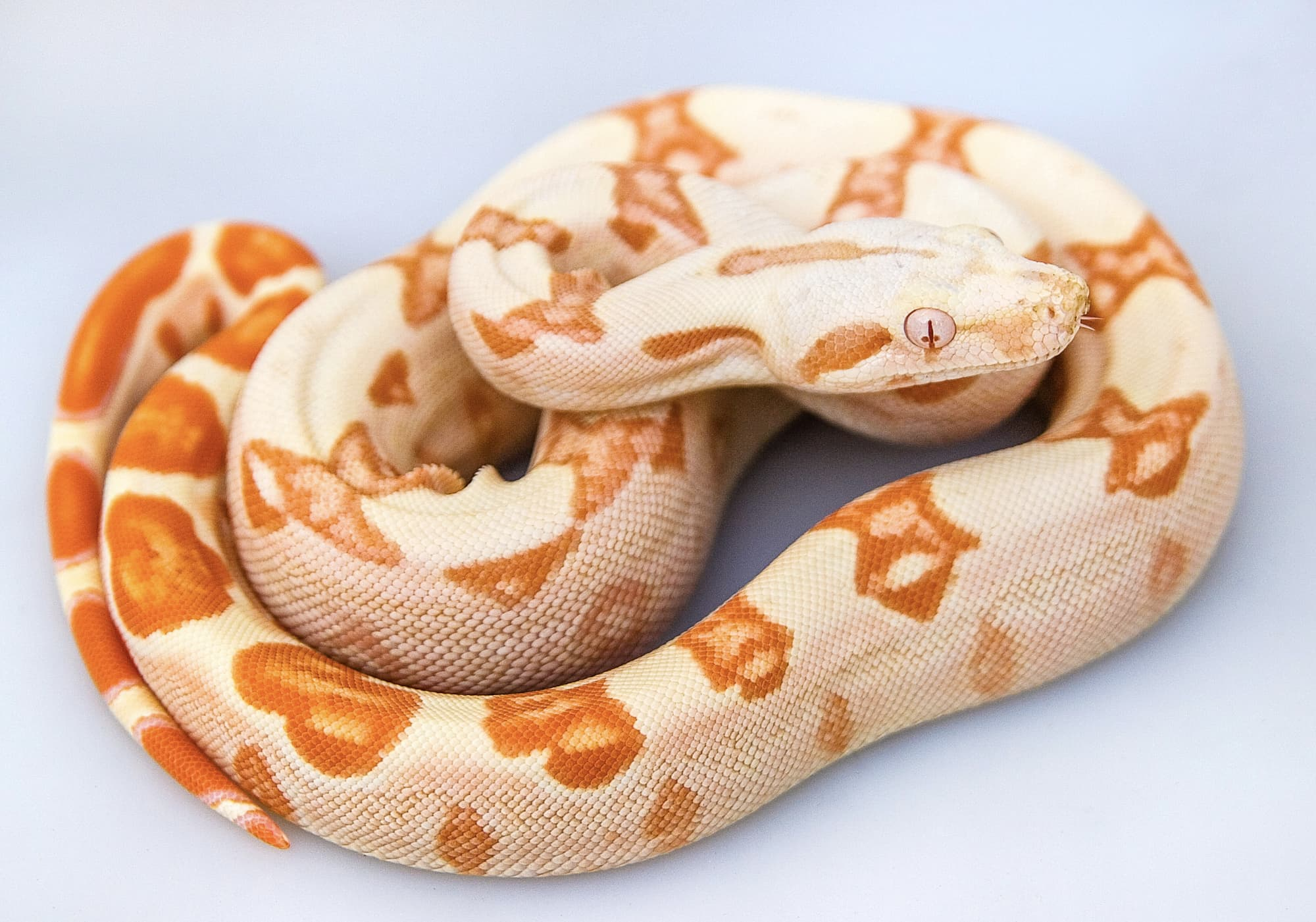 Orange and white snake in studio with white background
