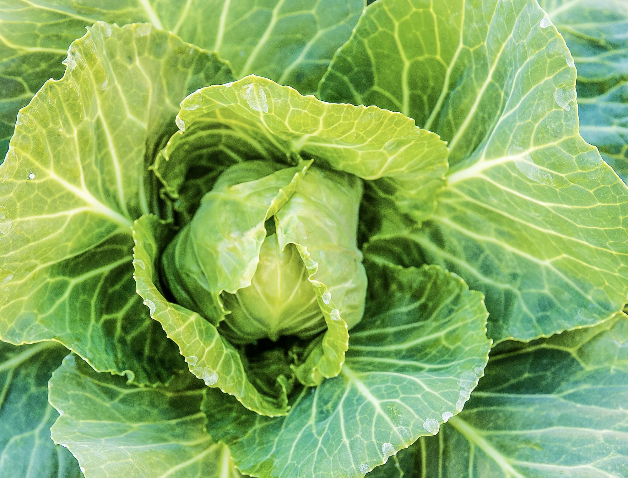 close up of head of lettuce
